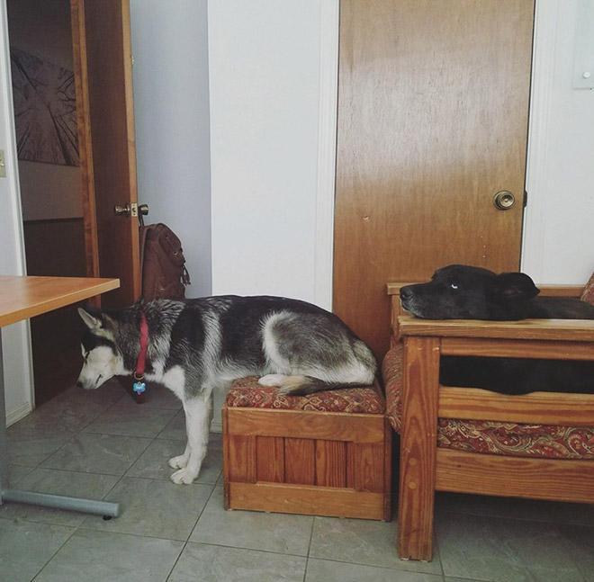 собака сидит задними лапами на пуфике