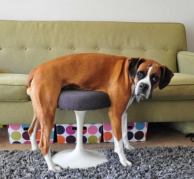 собака на табурете