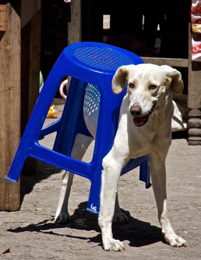 собака застряла в табуретке