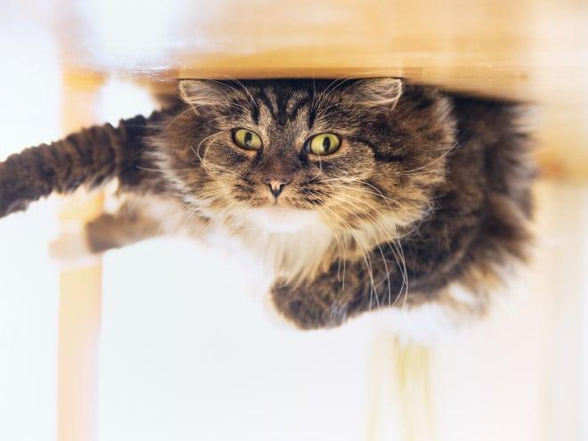 полосатый кот с зелеными глазами