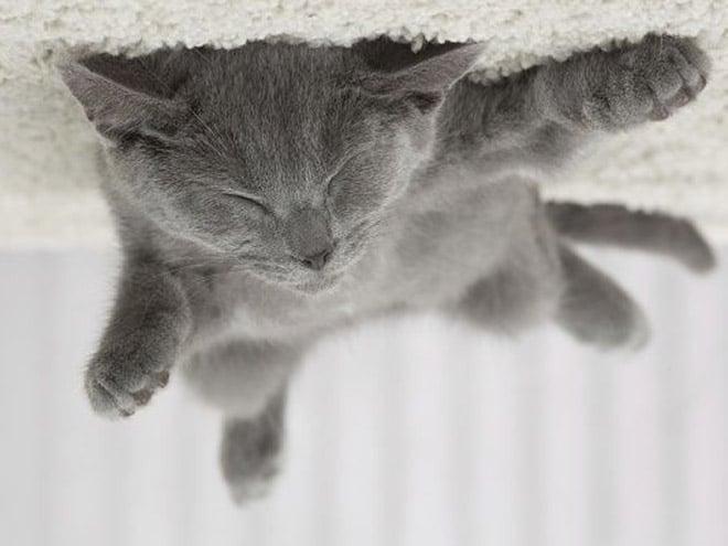 серый кот спит на спине