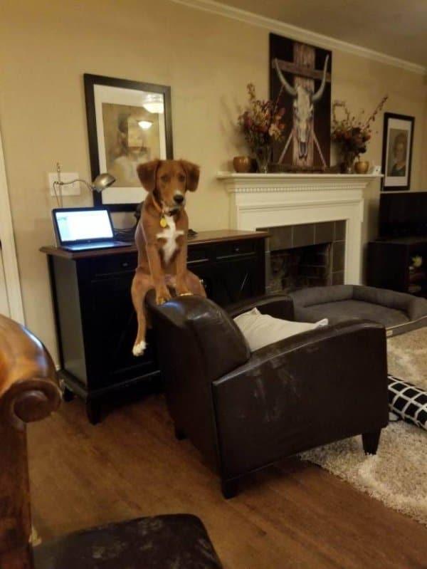 собака сидит на спинке кресла
