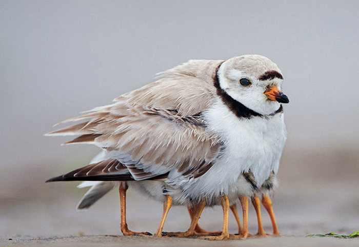 птица со своими птенцами