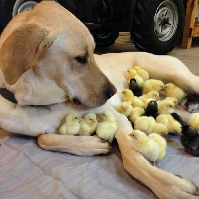 собака и птенцы
