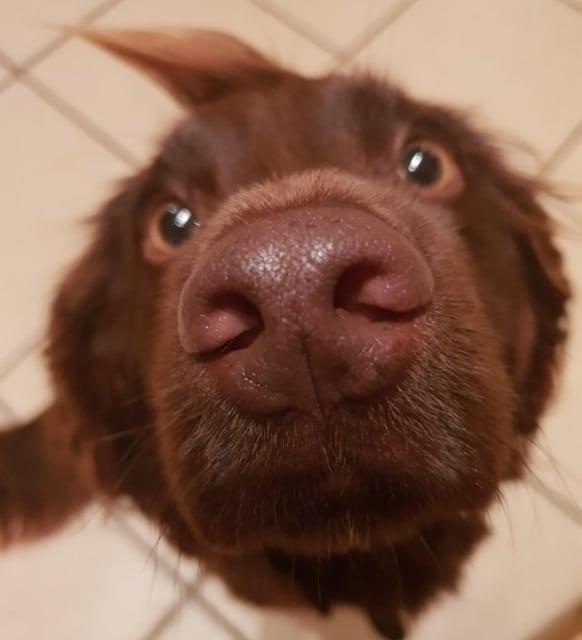 нос собака