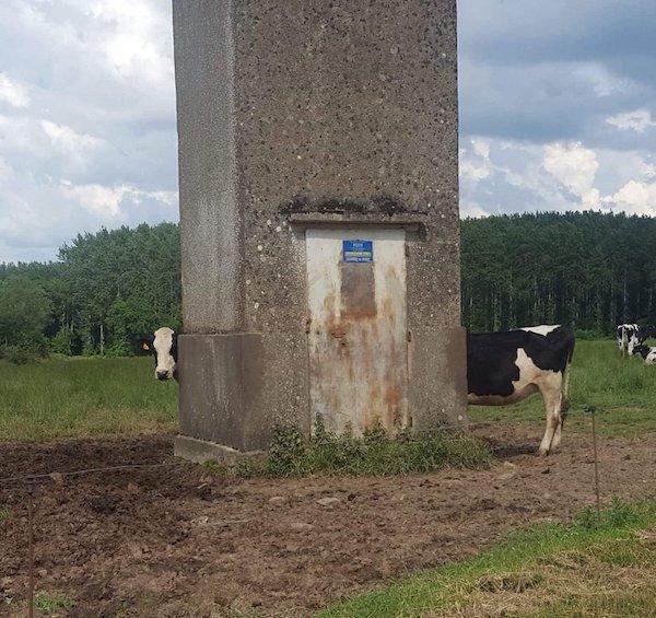 корова за столбом