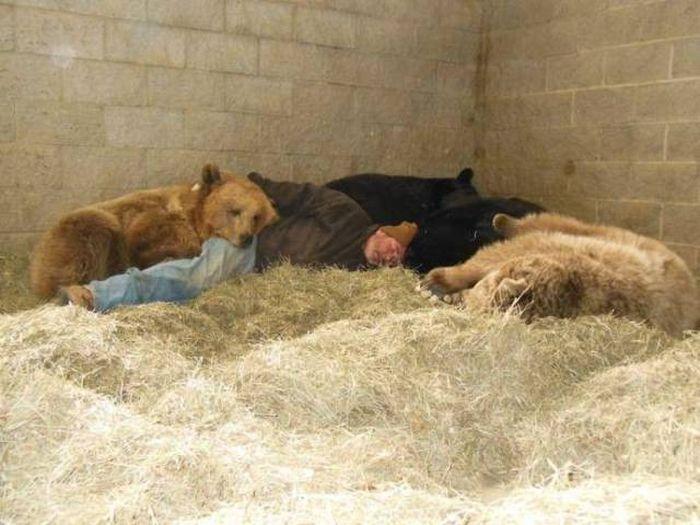 мужчина спит среди медведей