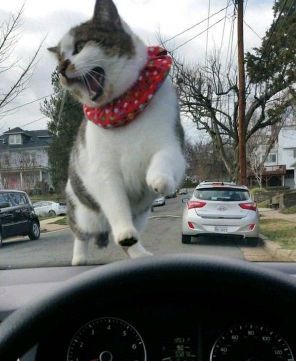 кот на капоте машины
