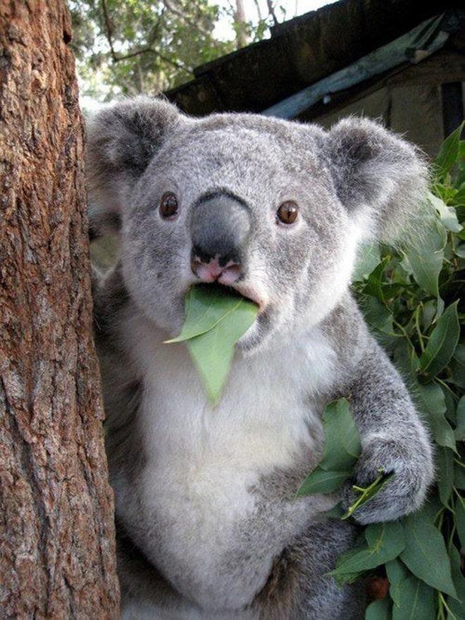 коала ест листья
