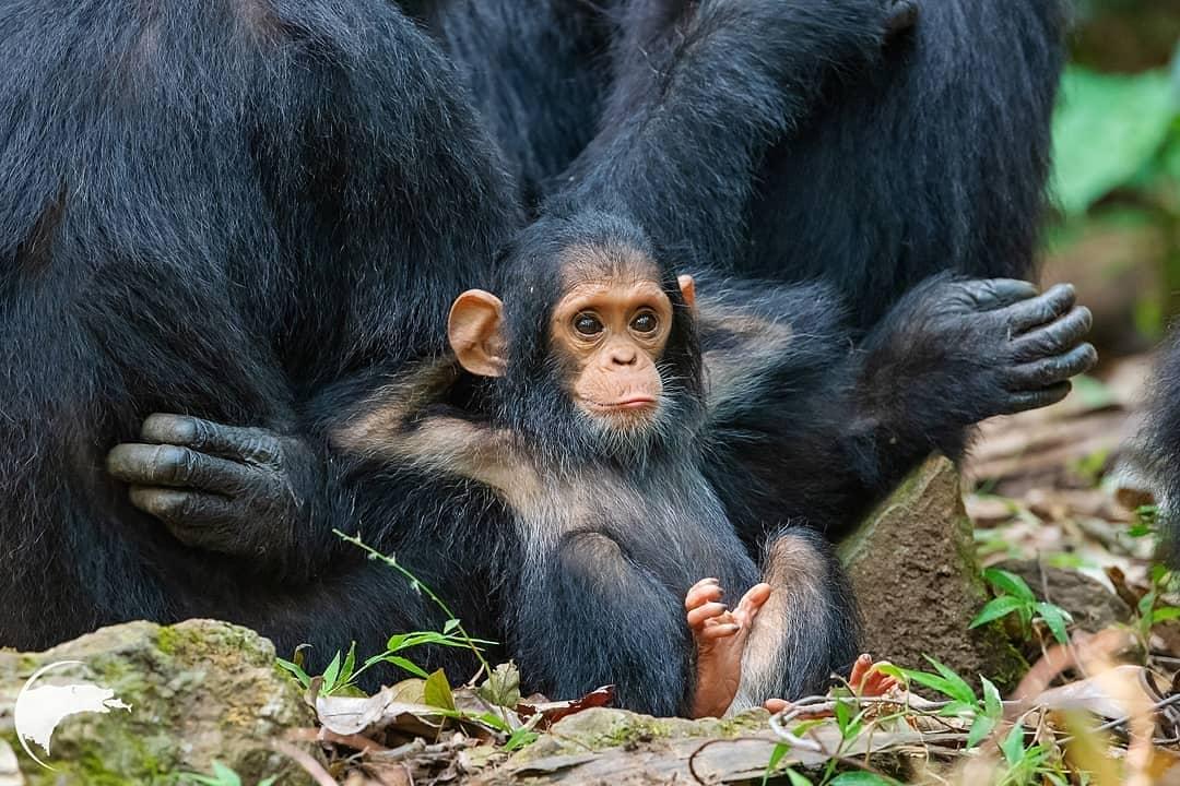 детеныш шимпанзе