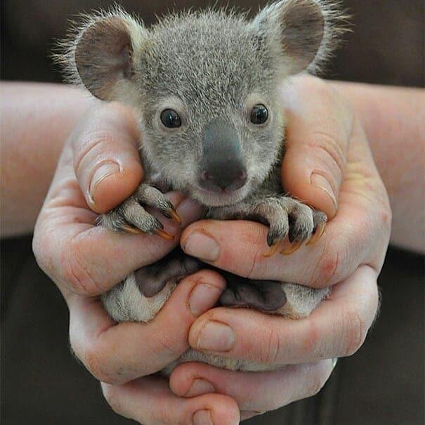 маленькая коала в руках