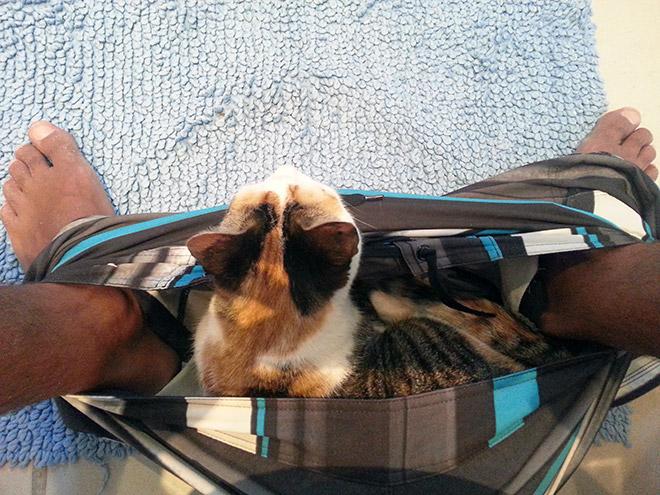 кошка сидит в шортах хозяина