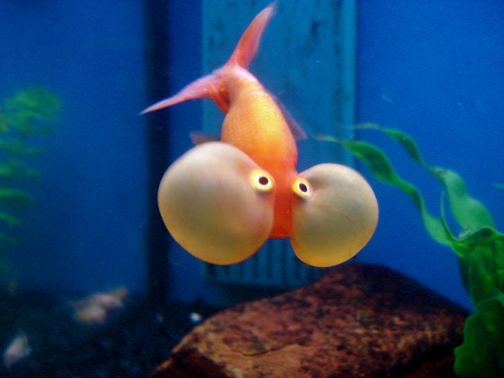 Рыбка с надутыми щеками