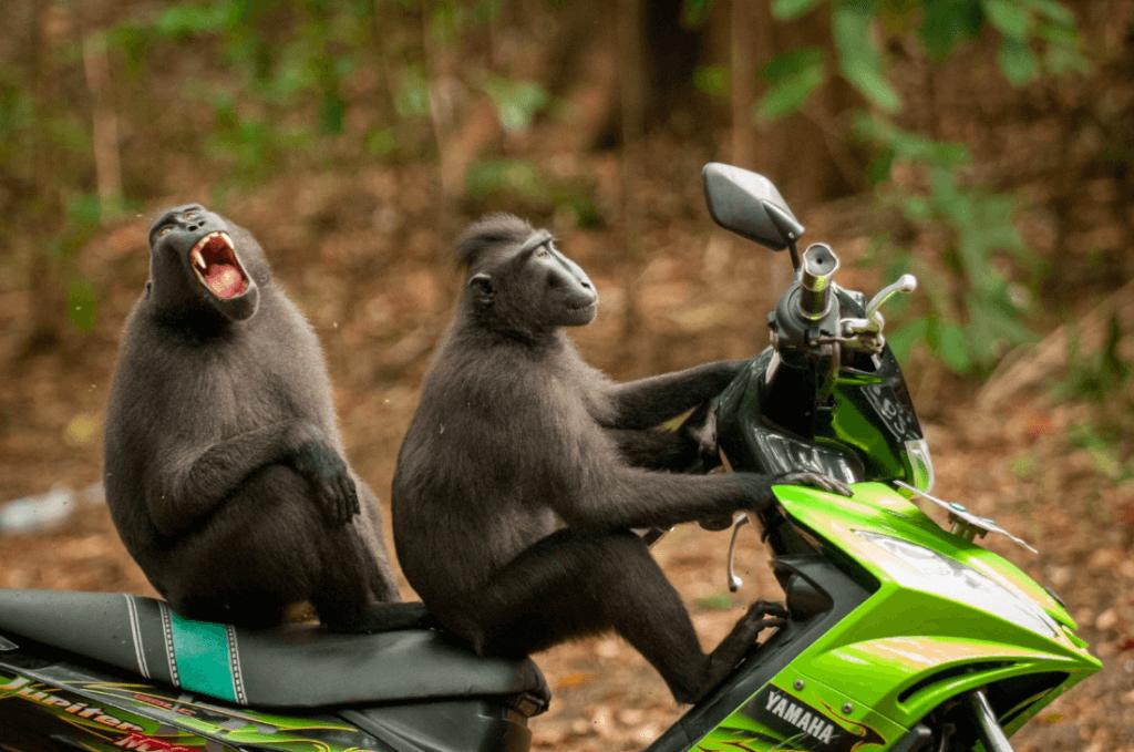 обезьяны на мотоцикле