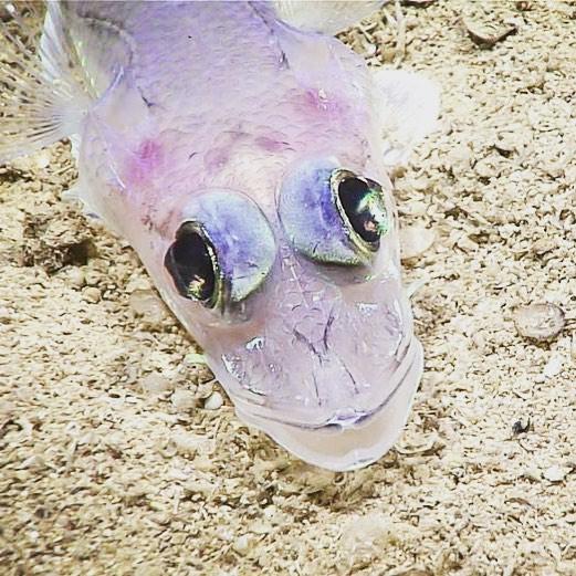 Прозрачная рыба с большими глазами