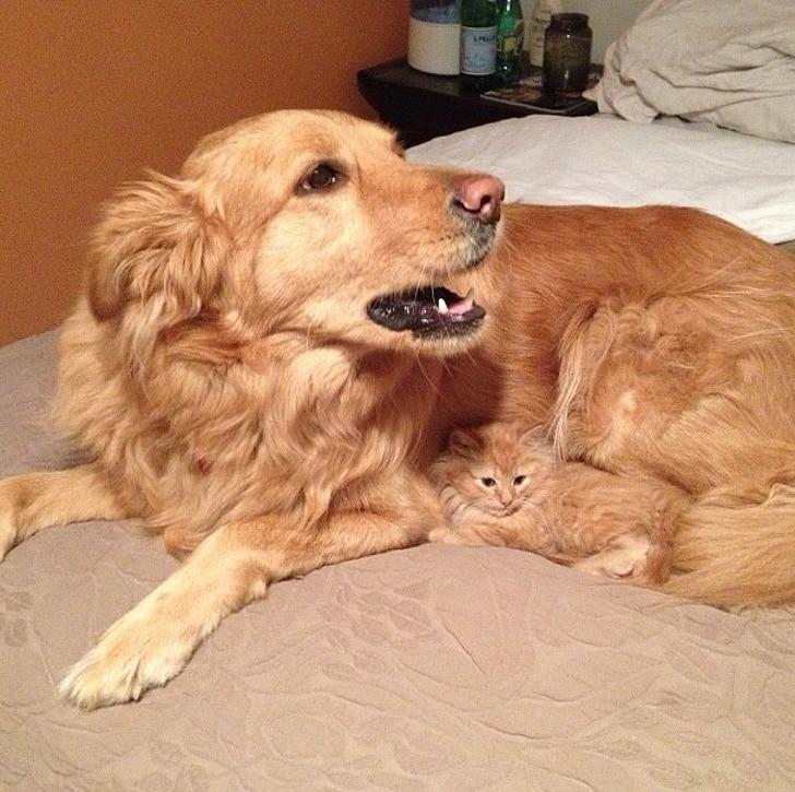 золотистый ретривер и рыжий котенок