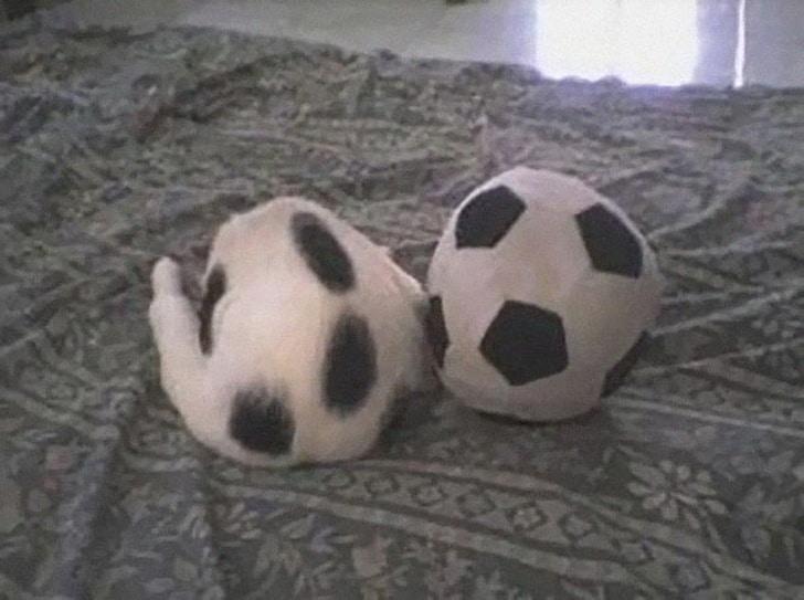 черно-белый кот и футбольный мяч