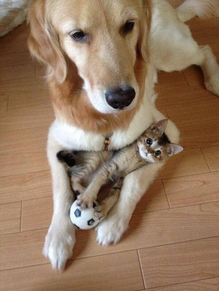 котенок лежит на собаке