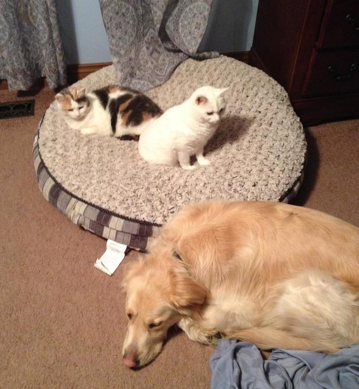 коты сидят на подушке собаки