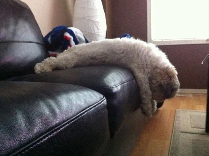 кучерявый пес