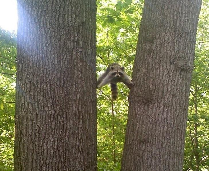 енот между двух деревьев