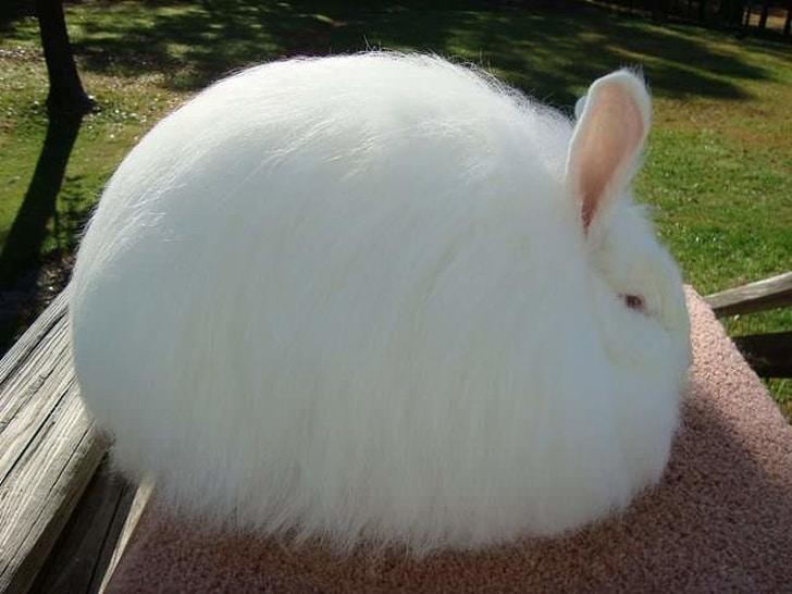 пушистый белый кролик