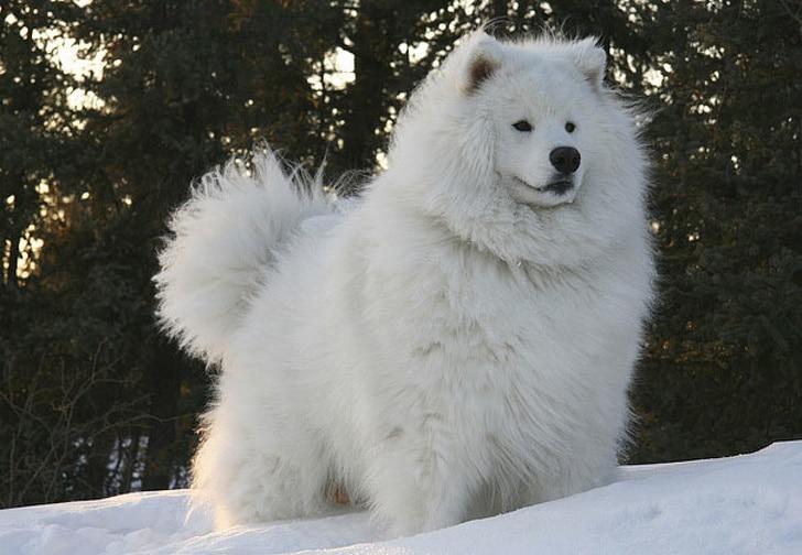 белая собака на снегу