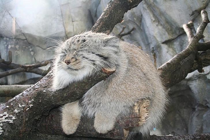 манул спит на ветке
