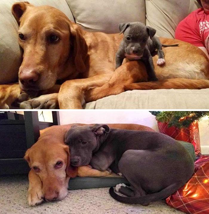 Взрослая собака и щенок, они же через несколько лет