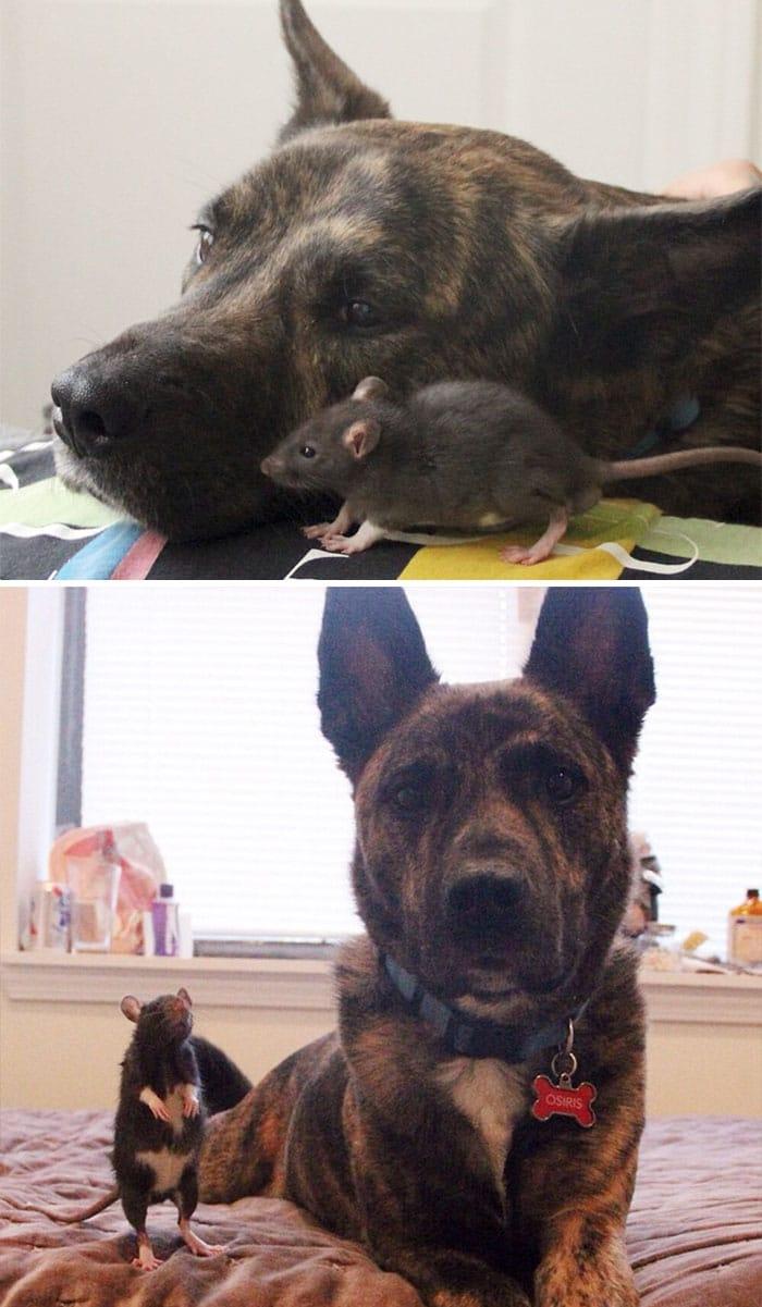 Крыса и щенок и они же во взромслом возрасте