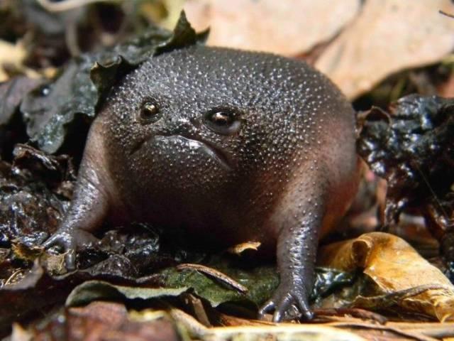 Черная жаба с гримасой