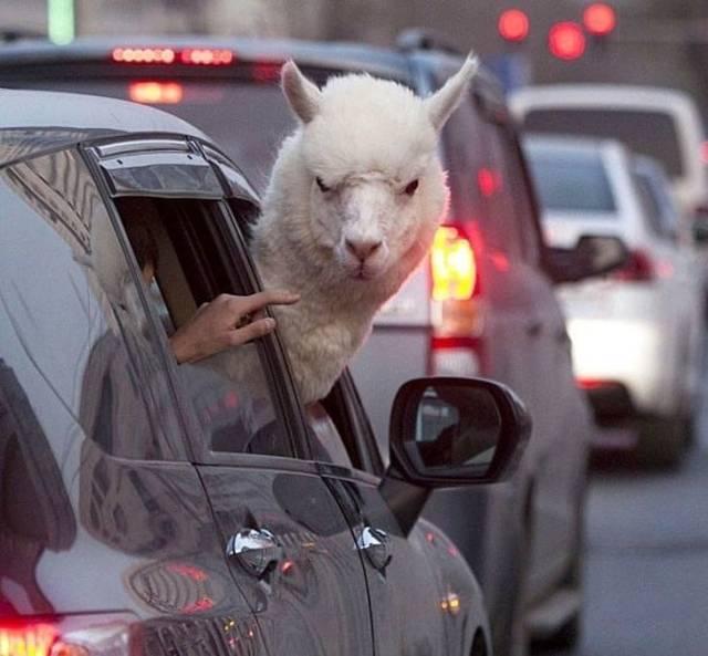 Альпака зло смотрит из окна машины