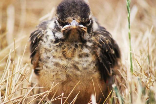 Насупленная птица