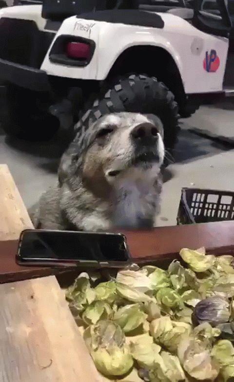 собака слушает музыку