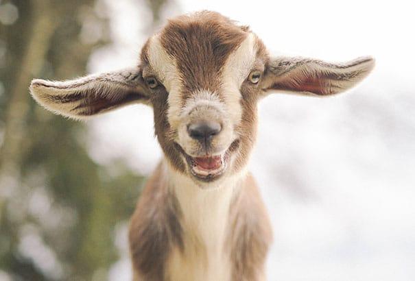 козлик улыбается