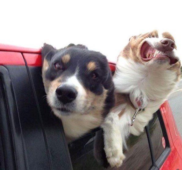 собаки в окне автомобиля