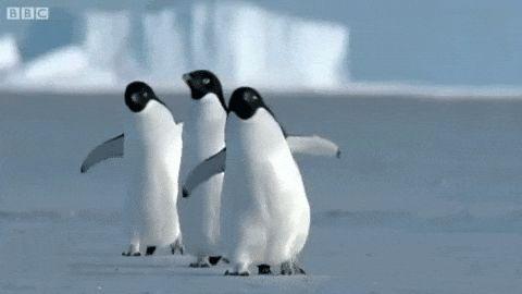 пингвины смешно бегут