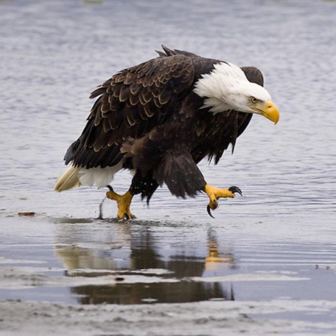 орел идет по берегу