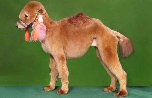 собака подстриженная под верблюда