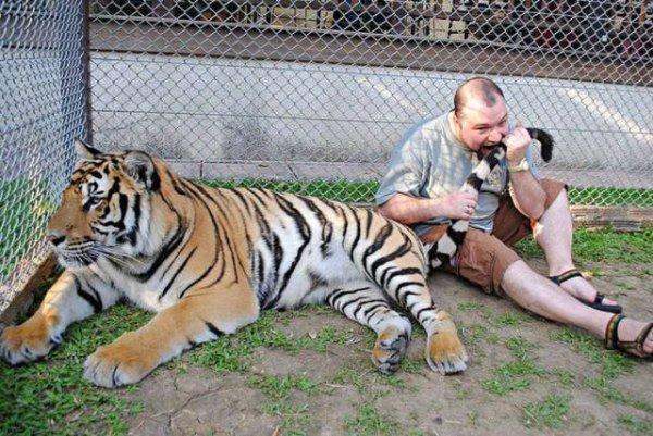 мужчина кусает тигра за хвост