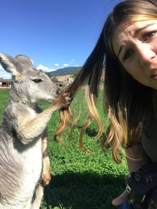 кенгуру держит девушку за волосы