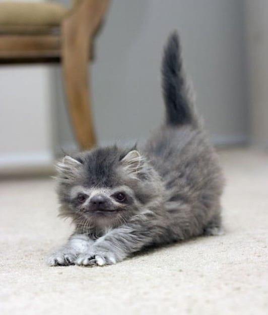 пушистый серый котенок потягивается