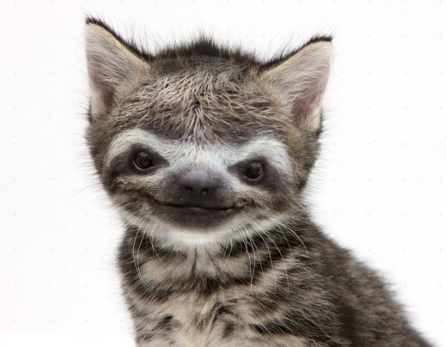 полосатый котенок с мордой ленивца