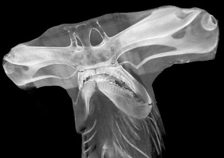 рентген акулы-молот