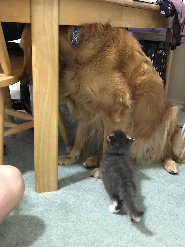 ретривер прячется под столом от котенка