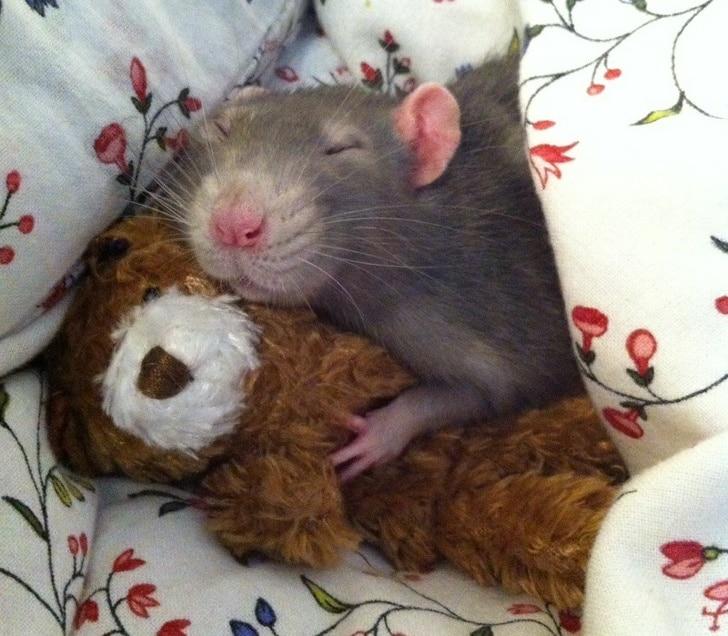крыса спит в обнимку с игрушкой