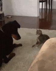 котенок нападает на собаку