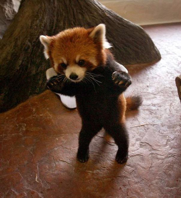 красная панда стоит на задних лапах