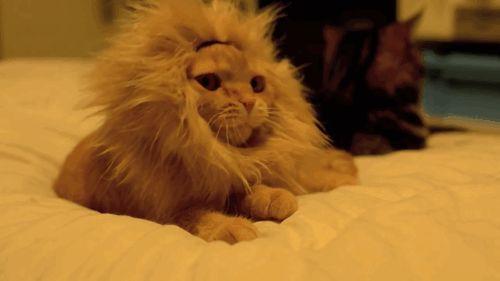 рыжий кот зевает в парике льва