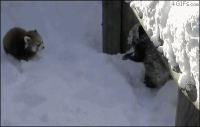 красные панды в снегу